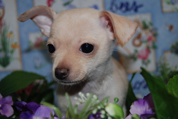 Chihuahua Donated for Fundraiser