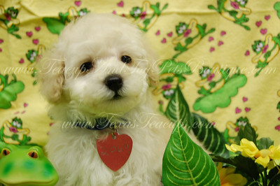 PUPPY NUMBER # 2069 My New Owners Name: Angela & Artemio Puppy's Name: Teddy  FROM: Dallas, TX BREED: Maltepoo SEX: Male COLOR: Cream DATE OF BIRTH: 9/3/09  COAT TYPE: Soft Wavy Curls  Customer Comments: LOVE HIM!  ==== ( TeacupPets@TexasTeacups.com ) ====  This Photo is copyright protected by:http://www.TexasTeacups.com