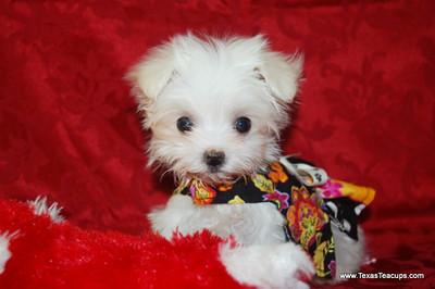 Teacup Maltese Puppy