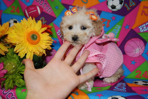 ( Puppy Number # MP 711 ) Texas Teacup Sunshine Puppy Donated 11-2007
