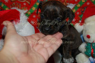 ChiWeenie Puppy 2479