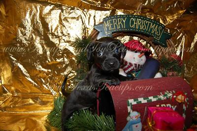 ChiWeenie Puppy 2478