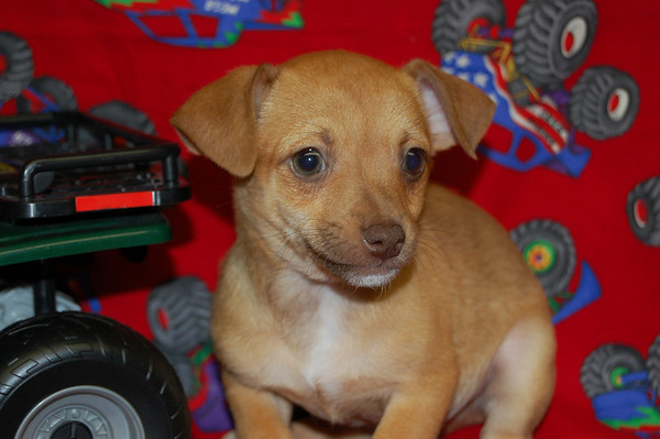 Free Father's Day puppy, Amanda H.( PUPPY NUMBER # CHI TR 827 )