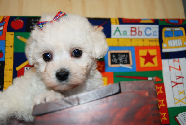 Malti Poo won by Pet Supply Customer
