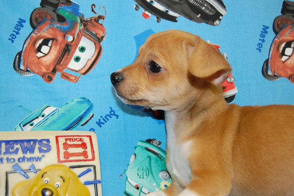 PUPPY # CHI TR 843 This Free Puppy found a home with Renae C.