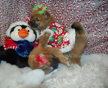 PUPPY NUMBER # 2713 My New Owners Name: Willamena Osborn Puppy's Name: Prima Date Sold : 12/15/12 FROM: Lancaster, TX BREED: Shiba Inu SEX: Female COLOR: Reddish Brown DATE OF BIRTH: 8/30/12 Pet Boutique Sales Representative: Tracea  Customer Comments:   If you purchase a puppy in this photo gallery and would like for us to add your puppy's name and comments to the puppy you have purchased.  Send an e-mail with your full name, puppy's name and puppy number to us along with any comments you would like to add to your puppies photo. You may also send photos of your family members with or without puppy and we will add it to your puppy's photo gallery.   ==== ( TeacupPets@TexasTeacups.com ) ====  This Photo is copyright protected by: http://www.TexasTeacups.com