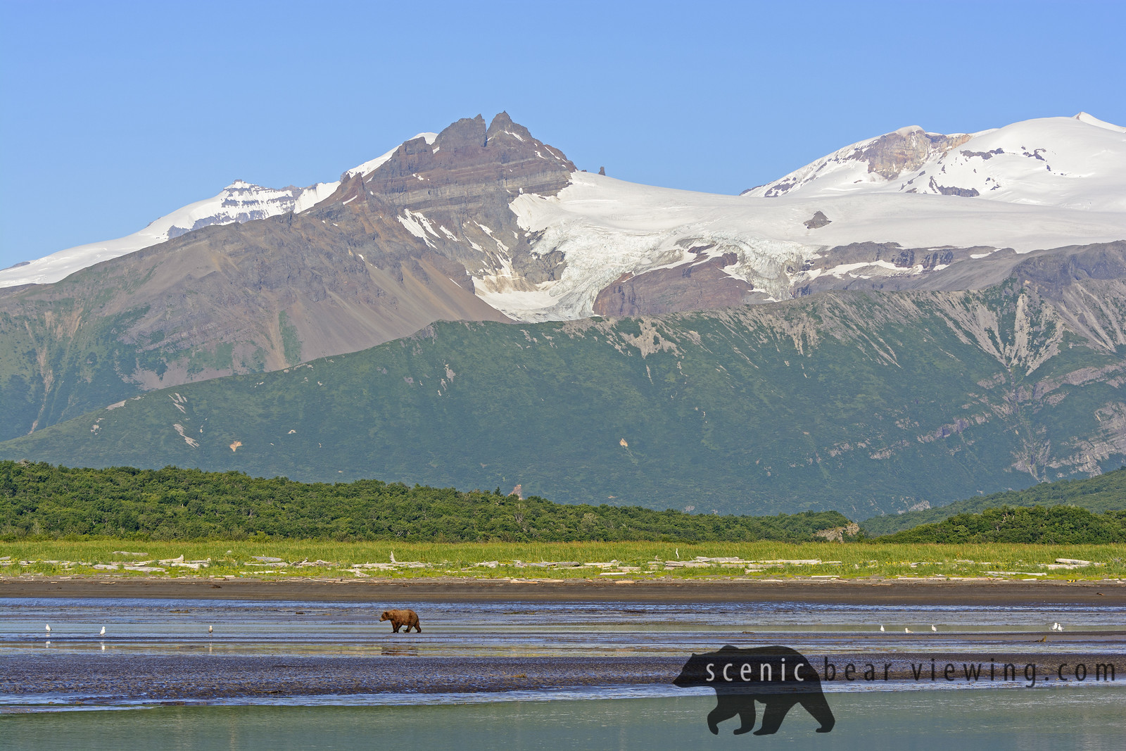 Grizzly Bear Bear Walking on a Tidal Flat Beneath the Mountains