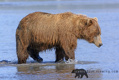 Grizzly on the Prowl in an Estuary