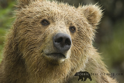 Brown Bear in the rain. McNeil River, Alaska.