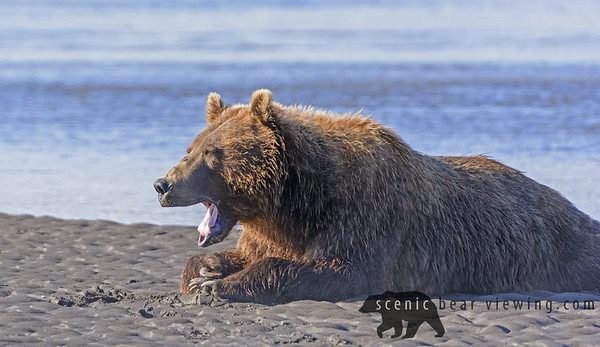 Bear Yawn after a Good Meal