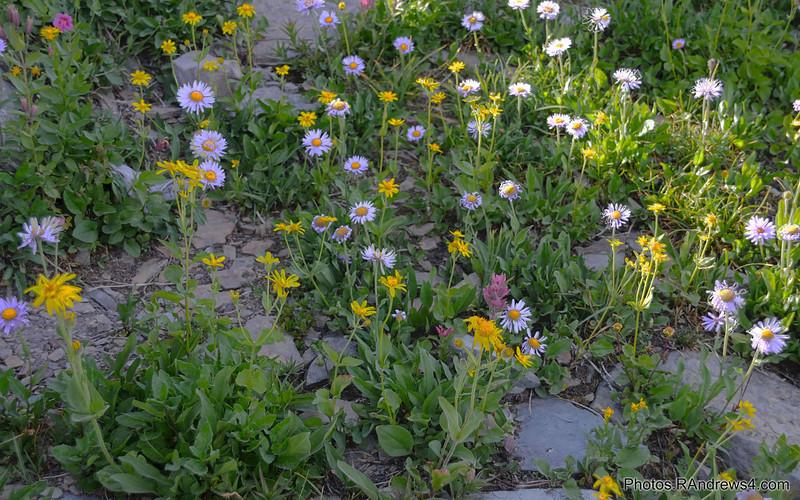 Wild flowers near Logan Pass