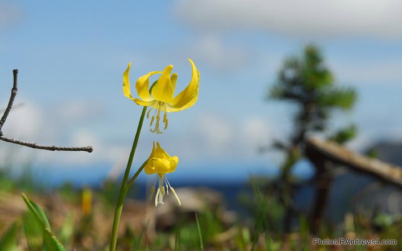 Wild Flowers on slopes of Mt. Rainier