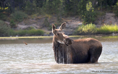 Moose in Fishercap Lake