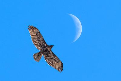 Hawk_Moon