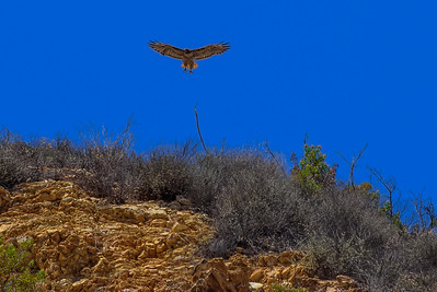 California Hawk - Malibu Creek State Park