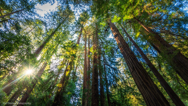 The Redwoods of Muir Woods