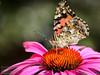 Butterfly on flower - Summer 2012