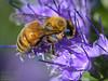 Bee on flower - Summer 2012