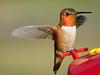 Hummingbird on flower - Summer 2012