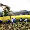 chiang mai golden harvest