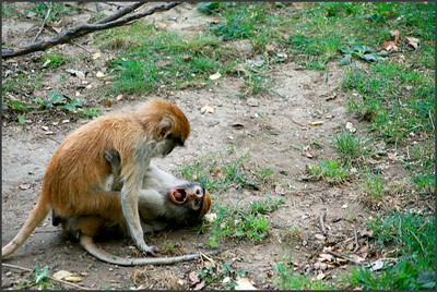 Malé opièky v jednom kuse zlobily
