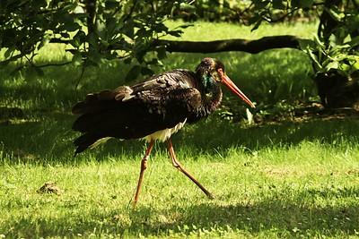 Tenhle vodní pták se zámeckým parkem procházel taktéž zcela volně. Respektive byl na odchodu - kamsi odešel a už jsme ho neviděli.