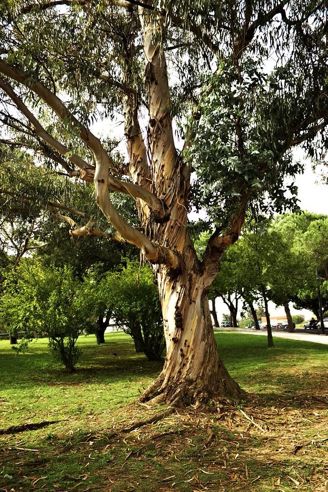 Eukalyptus. V Portugalsku je jich plno.