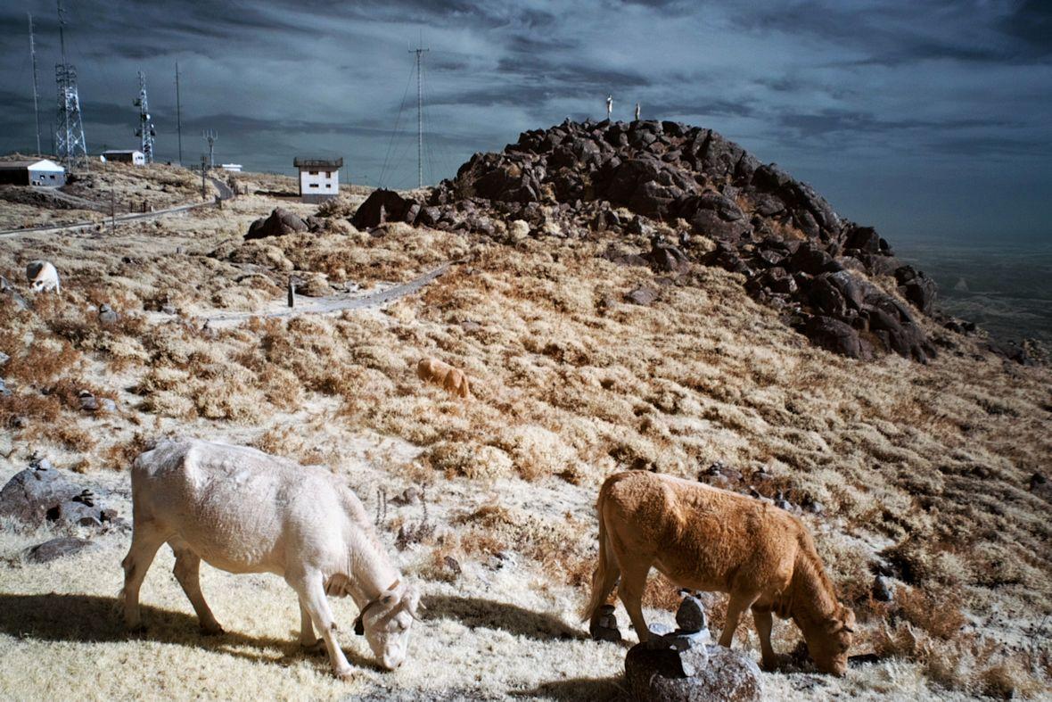 Infračervené krávy