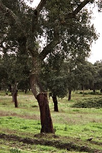 Korkový dub