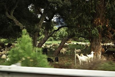 Prostě jen kozy a ovce, pasoucí se vedle dálnice, no
