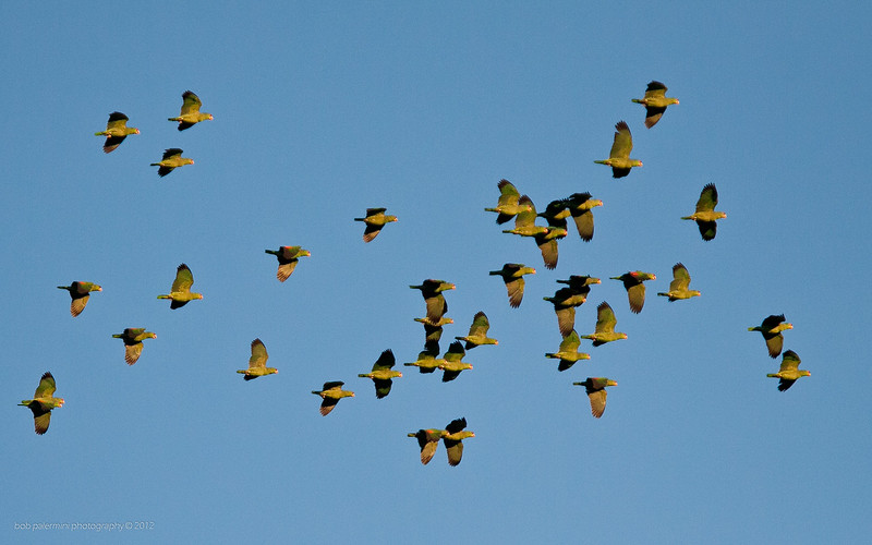 A flock of green parrots flying over Glendale, California.