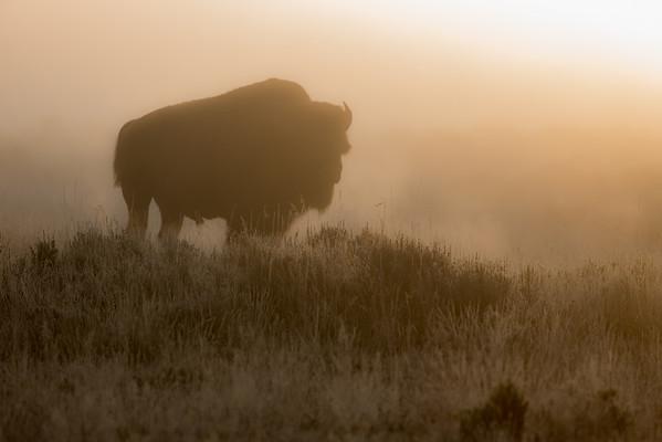 Bison Glow