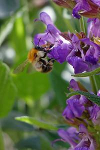 Bee at Sage