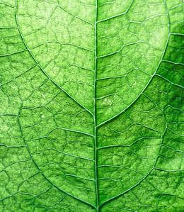 Leaf of a bean