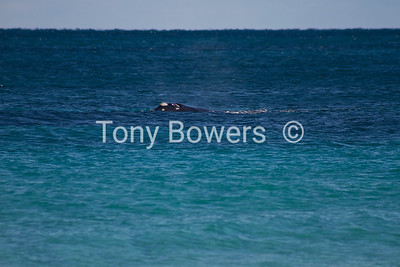 Southern right whale 30m off port beach.