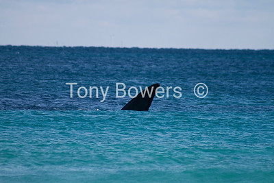 Not a shark !  Its the fin of a Southern right whale 30m off Port beach