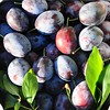 Italian plums from Beckey and Toby