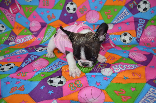Female French Bulldog # 3114