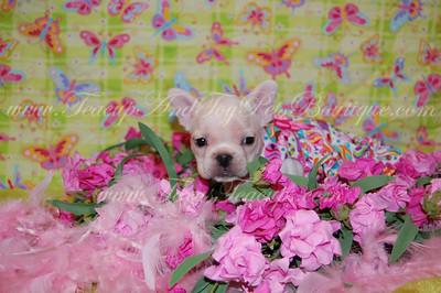 french bulldog puppy 2593 texasteacups