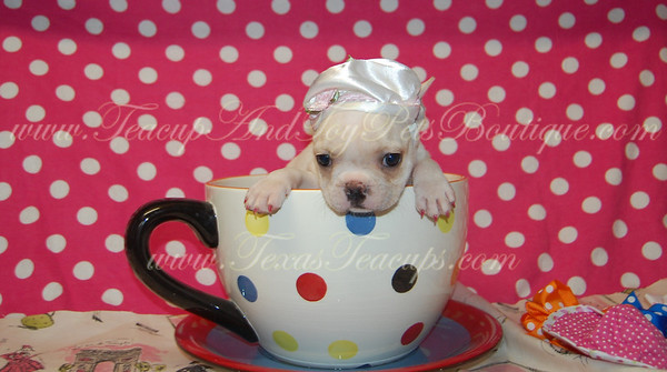 Teacup French Bulldogs Sold