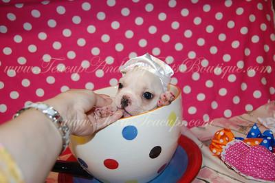 Teacup French Bulldog Puppy # 2565 - TexasTeacups