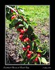 Sweetheart Cherries .  Very close to ripe.  June 2005.