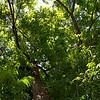 Walnut tree at French Camp.