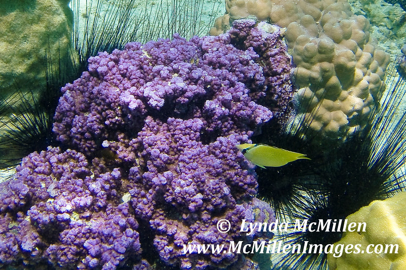 Vibrant coral, long spiny sea urchins and yellow fish.