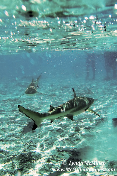 Black tipped reef sharks.