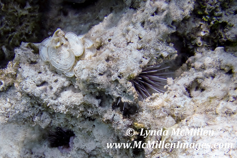 Pink spiny sea urchin and sea flower on coral.