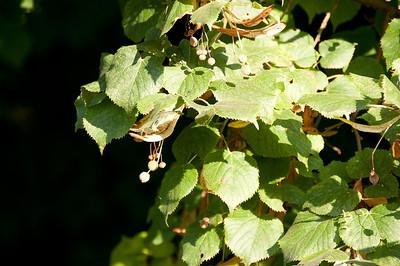 Large leaf Linden alley was so lovely