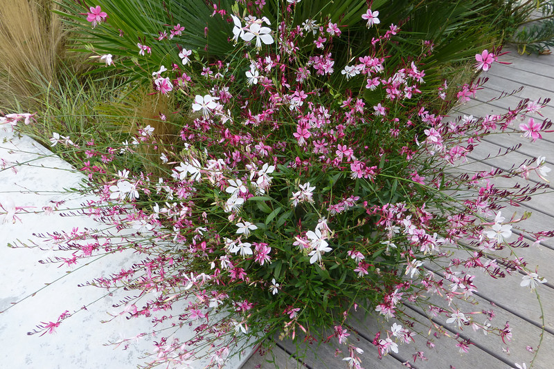 Wish the Gaura grew like this a my house.