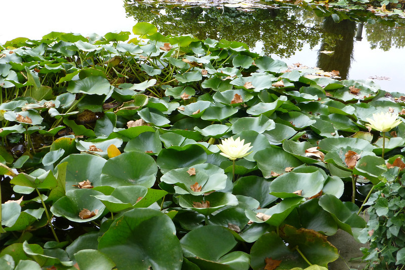 Water Lilies still in bloom.