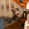 A mallard duck just waking.